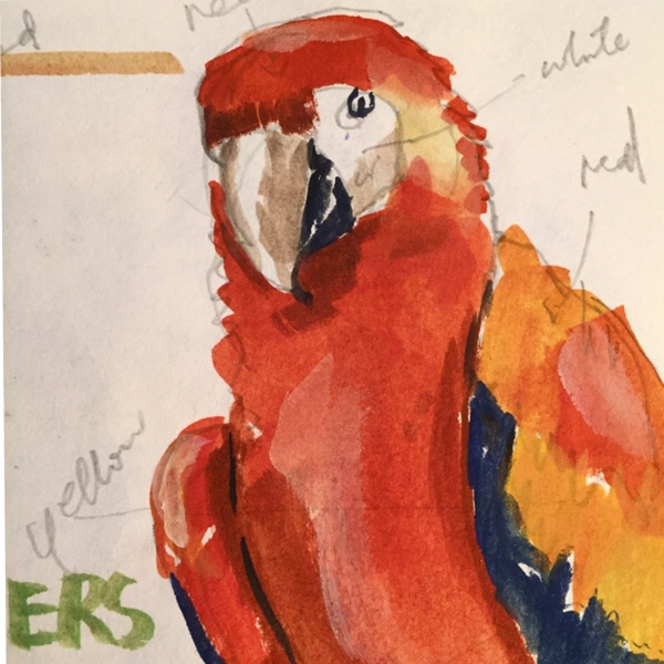 Macaw, sketch of bird by Evelyn Yee
